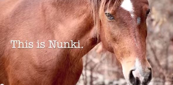 Nunki_the_last_wild_horse_of_abaco